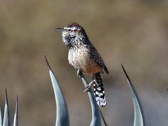 jpg Cactus Wren The state bird of Arizona. State Birds, Green Valley, Wren, Tucson, Arizona, Cactus
