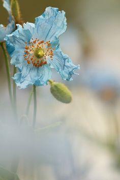 The Blue Himalayan poppy - Bleu légèreté. Photo: Nicole Barge.
