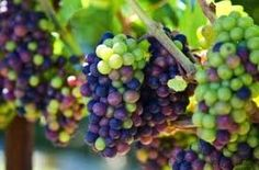 Growing Grapes for Home Use in MN