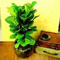 Zimmerpflanze Geigen-Feige