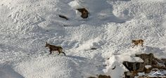Alps, Moose Art, Snow, Outdoor, Animals, Outdoors, Animaux, Animal, Animales