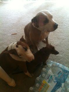 Blue the Pit bull. Gracie the Bull terrier. Annie the Dachshund.
