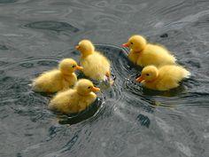 Ducklings are so cute. Pet Ducks, Baby Ducks, Cute Little Animals, Cute Funny Animals, Cute Creatures, Beautiful Creatures, Farm Animals, Animals And Pets, Cute Ducklings