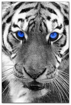 Black Tigers on Pinterest | Siberian Tiger, White Tigers and ... Tiger Eyes Black And White