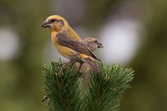 Red crossbill or Common crossbill(Loxia curvirostra) photographed by Tom Kruissink in Holland