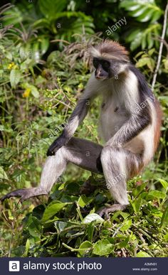 Zanzibar Red Colobus Monkey Zanzibar Island Stock Photo, Royalty Free Image: 3532176 - Alamy