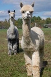 Maple View Farm Alpacas -- friends and fans of FeltLOOM felting machines