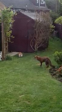 Cat gif, fox gif, these cats are pretty badass Cute Funny Animals, Funny Cute, Cute Cats, Hilarious, Animal Gato, Amor Animal, Crazy Cat Lady, Crazy Cats, Jurrassic Park