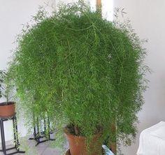 Az aszparágusz vagy más néven díszspárga nagyanyáink idejében az egyik legkedveltebb szobanövény volt, ma pedig igen nehezen juthatunk hozzá, szinte csak növénybarátoktól tudjuk beszerezni azokat. Pedig tartásuk igen egyszerű és hosszú élettel hálálják meg... The post Így lesz szép az aszparágusz – olvasói tanácsok appeared first on Balkonada. Herbs, Herb, Medicinal Plants