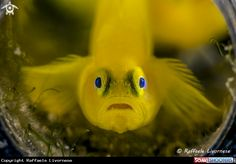 Yellow goby in Anilao - Philippines
