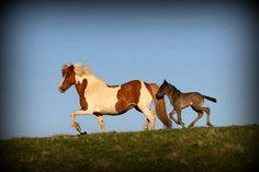 Álfadís frá Selfossi og Álfhildur frá Syðri-Gegnishólum á góðum degi :) | Icelandic Horse #Icelandichorse