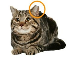 Left clipped ear sign of a cared for feral cat (that has