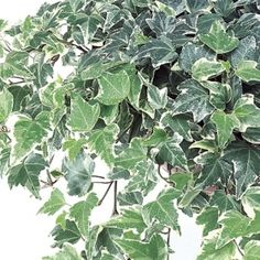Silver Dollar Ivy- One of over 400+ varieties from Exotic Angel Plants®