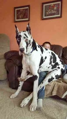 """See our website for more details on """"great dane puppies""""xx. It is actually an outstanding place to read more. Big Animals, Cute Baby Animals, Funny Animals, Huge Dogs, Giant Dogs, Le Plus Grand Chien, Big Dog Breeds, Great Dane Dogs, Lap Dogs"""