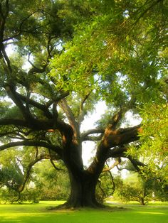 The Mighty Oak, King of Trees, sacred to all ancient cultures where native.