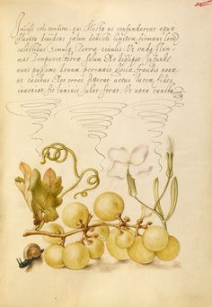 Joris Hoefnagel, 1542-1600, Flemish, Wine Grape, Gillyflower, and Land Snail, 1591-1596. Watercolors, gold and silver paint, and ink on parchment, 6.6 x 12.4 cm. J. Paul Getty Museum, Los Angeles. Northern Mannerism.