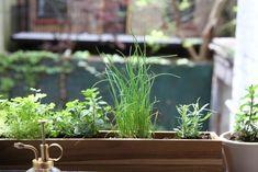 a windowsill herb garden for a city apartment, gardenista