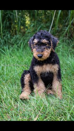 Airedale Terrier baby, he's so cute!