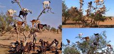 Morrocan tree climbing goats