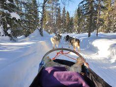 Iloiset huskyt rakkaassa työssään. Winter Village, Lammintupa, Kuusamo. Husky, Alcoholic Drinks, Wine, Liquor Drinks, Husky Dog, Alcoholic Beverages, Liquor