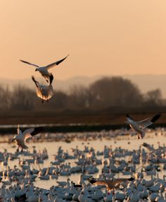 Ross's Geese, San Joaquin Valley Wildlife Refuges California - Snow Geese…