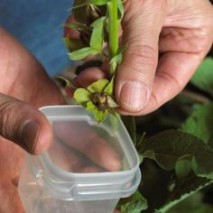 Saving garden seeds: Learn how to collect seeds from your favorite flowers, fruits and vegetables, and save them to plant next year! | Living the Country Life | http://www.livingthecountrylife.com/gardening/saving-garden-seeds/