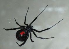 Google Image Result for http://www.whatsthatbug.com/wp-content/uploads/2010/07/black_widow_lisa.jpg