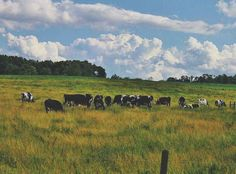 #moo lalaaaa #cattle #upstateny # #canon by ashiz_ashiz