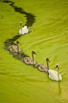 trumpeter swan photo by Love Birds, Beautiful Birds, Animals Beautiful, Cute Animals, Swans, Trumpeter Swan, Tier Fotos, Bird Watching, Bird Feathers