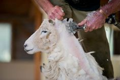A True experience of New Zealand sheep shearing at 'The point sheep Shearing Show. in Kaikoura, meet the dogs and sheep on this third generation working farm Sheep Shearing, Kiwi, New Zealand, Opportunity, Action, Group Action