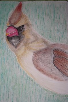 Male Cardinal in colored pencil by Denise Crawford