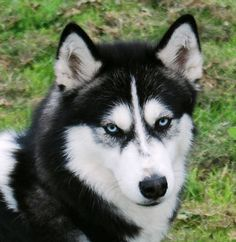 Canadian Eskimo Dog  (other picture wouldn't pin so I'm pinning this one twice because SO CUTE)