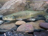 Web site of the Ecolocical Services Program, a program within the Fish & Wildlife Service. Endangered Fish, Endangered Species, American Pika, Canada Lynx, Garden Fountains, Animal Species, Rocky Mountains, Sculpture Art, Wildlife
