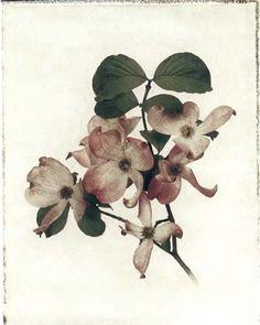 "Flowers in Neutral Moment ""Cornus Florida"" Polaroid image transfer 8x10 archival pigment print Photo by Soichi Oshika"