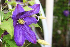 Idei pentru grădină şi terasă: Clematite - Stele florale pe suporturi suspendate Stele, Pergola, Plant, Outdoor Pergola