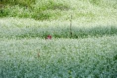 Mộc Châu đẹp tinh khôi mùa cải trắng