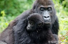 A Grauer's mother and her infant in Kahuzi Biega National Park, DRC.