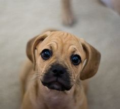 An inquisitive look from a cute and squishy Puggle puppy.