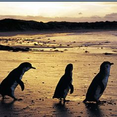 The fairy penguins at the Penguin Parade on Phillip Island, Victoria