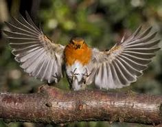 robins flying - Google Search