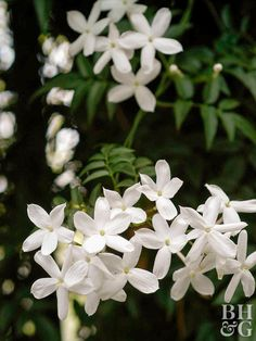 Jasmine - Flowered jasmine (J. polyanthum) and Arabian jasmine (J. sambac) are two of the easiest to grow; just give them plenty of light and moisture. They'll all bear fragrant pink to white blooms on vining plants Hanging Plants Outdoor, Indoor Plants, Indoor Gardening, Flowering House Plants, Blooming Plants, Garden Plants, Tiare Tahiti, Jasmine Plant, Flower Pot Design