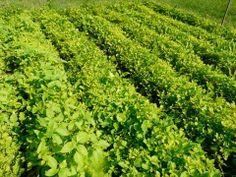 "▶A try at Fukuoka gardening in North  Carolina; ) To Grow Food Fast - "" Fukuoka Garden "" Fresh Food In 30 Days!!!!! - YouTube Bokashi, Grow Food, Fukuoka, Herbs, Gardening, Fresh, North Carolina, Nature, Garden Ideas"