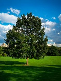 Buy Black Oak Tree Online. Arrive Alive Guarantee. Free Shipping On All Orders Over $99. Immediate Delivery.