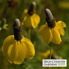 Droopy, lemon-yellow petals surround a tall cone. This native wildflower is easy to grow and thrives in dry, sunny areas. Perennial.