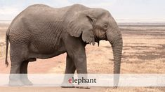 Loxodonta africana - old bull (Ngorongoro, - Category:Male elephants - Wikimedia Commons Elephant Facts, Bull Elephant, Giraffe, Wildlife Wallpaper, Species Extinction, African Bush Elephant, Ivory Trade, Thailand Elephants, Nature Sauvage