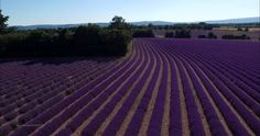 Beautiful 4K Aerial Video of the Lavender Fields in Provence, France Shot With a DJI Phantom 3 Drone