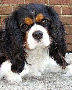 This Cavalier King Charles Spaniel looks like my Gracie's momma.