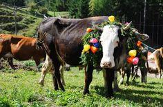 #Desmontegada in #Trentino - Val di #fassa