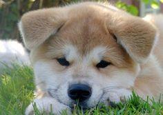 Baby Akita