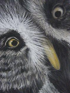 'Hello' Great Grey Owl  Pastel pencils.